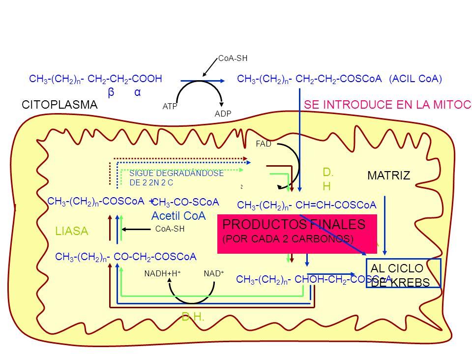 CH 3 -(CH 2 ) n - CH 2 -CH 2 -COOH β α CoA-SH ATP CH 3 -(CH 2 ) n - CH 2 -CH 2 -COSCoA (ACIL CoA) ADP SE INTRODUCE EN LA MITOCONDRIA FAD FADH 2 CH 3 -