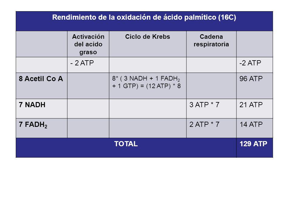 Rendimiento de la oxidación de ácido palmítico (16C) Activación del acido graso Ciclo de KrebsCadena respiratoria - 2 ATP 8 Acetil Co A 8* ( 3 NADH +