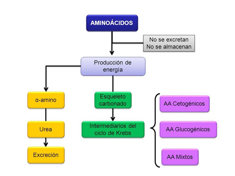 AMINOÁCIDOS No se excretan No se almacenan No se excretan No se almacenan Producción de energía α-amino Excreción Urea Esqueleto carbonado Intermediar