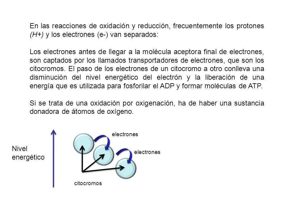 En las reacciones de oxidación y reducción, frecuentemente los protones (H+) y los electrones (e-) van separados: Los electrones antes de llegar a la