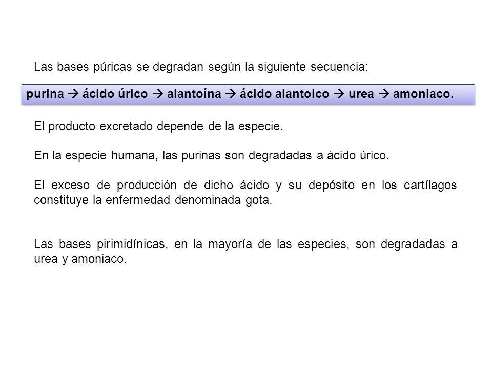 Las bases púricas se degradan según la siguiente secuencia: El producto excretado depende de la especie. En la especie humana, las purinas son degrada