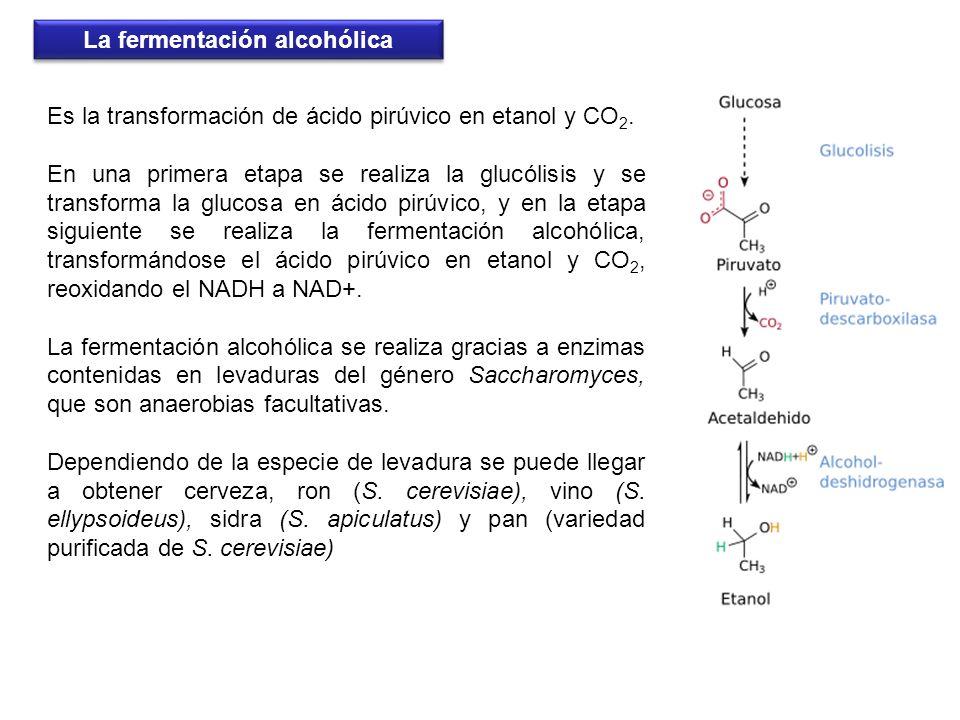 Es la transformación de ácido pirúvico en etanol y CO 2. En una primera etapa se realiza la glucólisis y se transforma la glucosa en ácido pirúvico, y