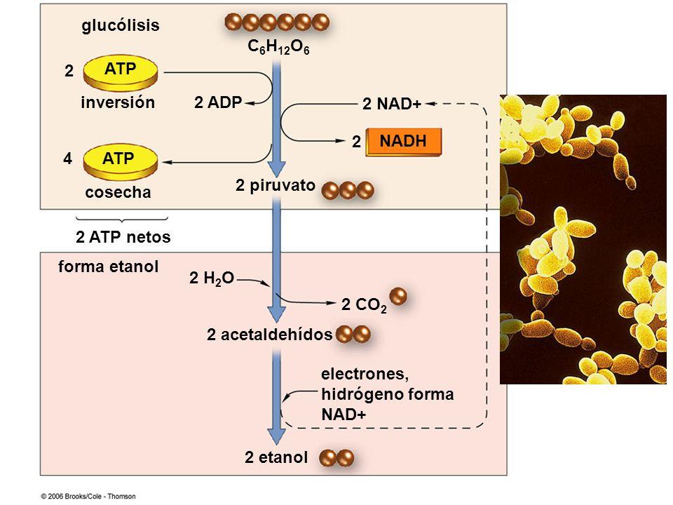 C 6 H 12 O 6 ATP NADH 2 acetaldehídos electrones, hidrógeno forma NAD+ 2 NAD+ 2 2 ADP 2 piruvato 2 4 cosecha inversión glucólisis forma etanol 2 ATP n