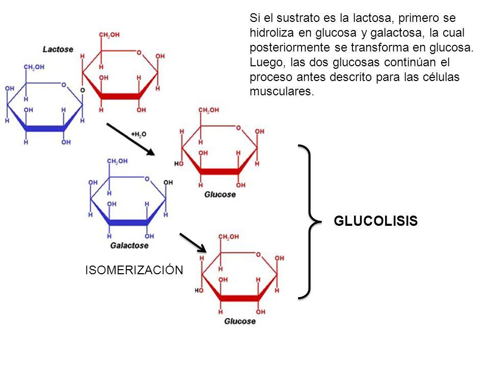 GLUCOLISIS ISOMERIZACIÓN Si el sustrato es la lactosa, primero se hidroliza en glucosa y galactosa, la cual posteriormente se transforma en glucosa. L