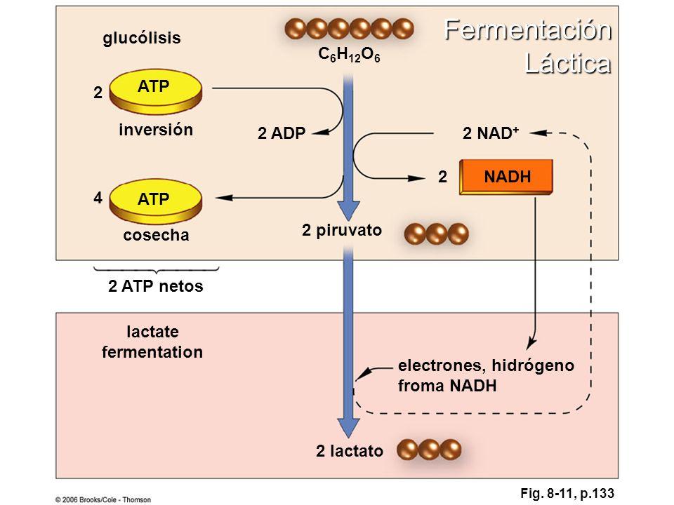 C 6 H 12 O 6 ATP NADH 2 lactato electrones, hidrógeno froma NADH 2 NAD + 2 2 ADP 2 piruvato 2 4 cosecha inversión glucólisis lactate fermentation 2 AT
