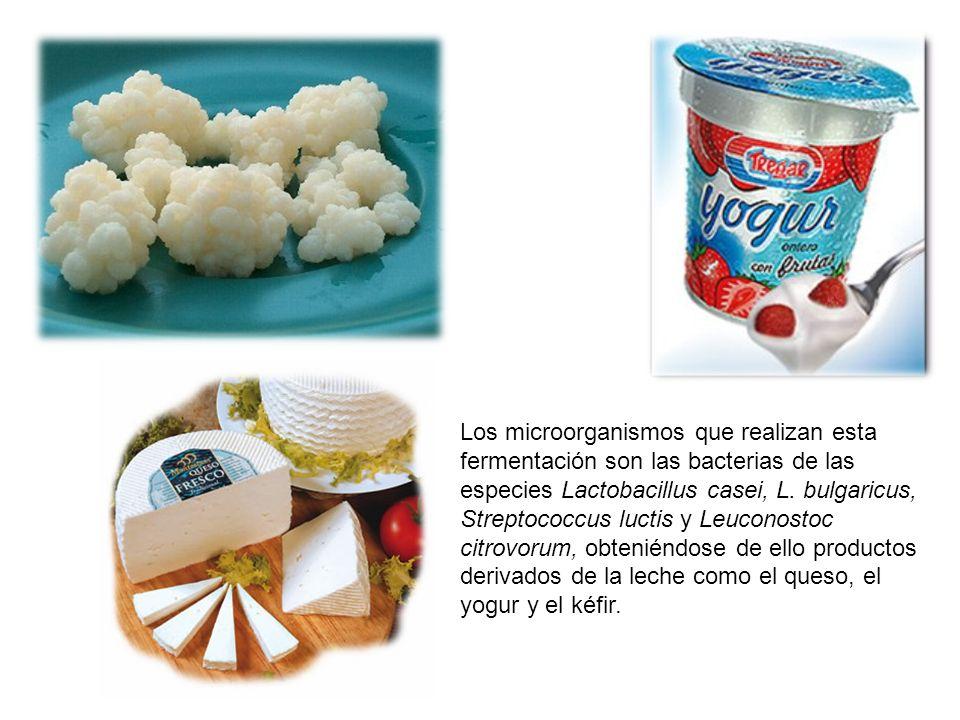 Los microorganismos que realizan esta fermentación son las bacterias de las especies Lactobacillus casei, L. bulgaricus, Streptococcus luctis y Leucon