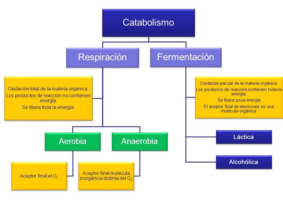 Catabolismo Respiración Aerobia Aceptor final el O2 Anaerobia Aceptor final molécula inorgánica distinta del O2 Oxidación total de la materia orgánica
