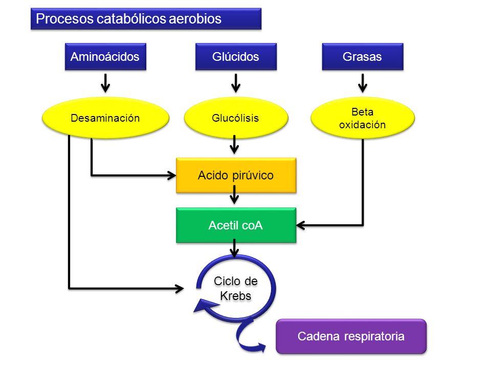 Aminoácidos Acido pirúvico Grasas Glúcidos Desaminación Beta oxidación Glucólisis Acetil coA Ciclo de Krebs Cadena respiratoria Procesos catabólicos a