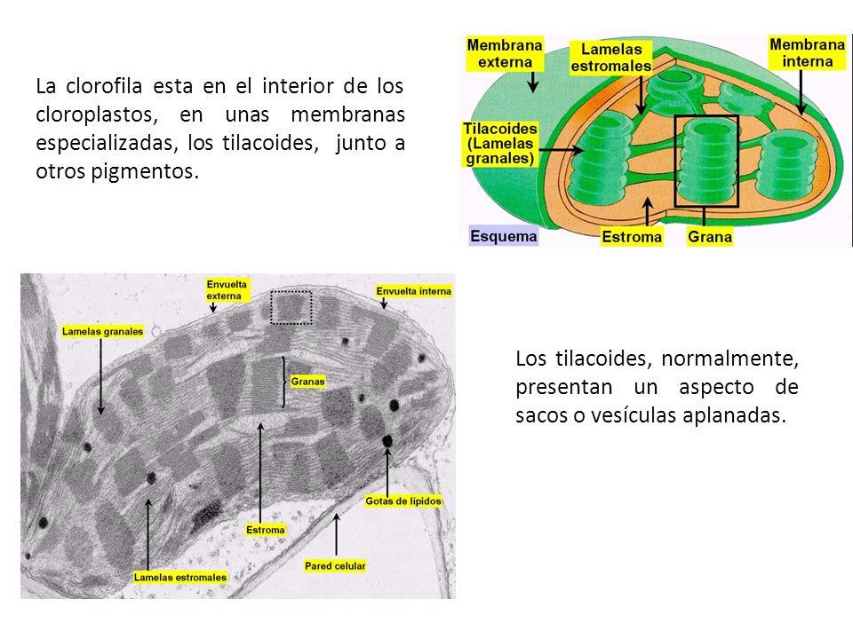 La clorofila esta en el interior de los cloroplastos, en unas membranas especializadas, los tilacoides, junto a otros pigmentos. Los tilacoides, norma