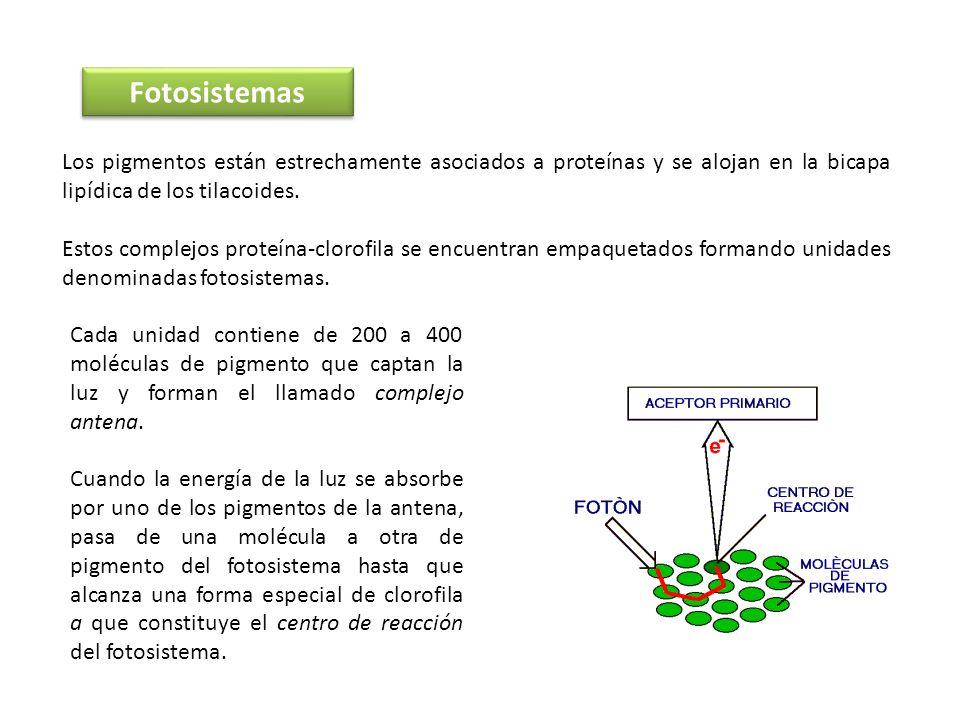 Fotosistemas Los pigmentos están estrechamente asociados a proteínas y se alojan en la bicapa lipídica de los tilacoides. Estos complejos proteína-clo