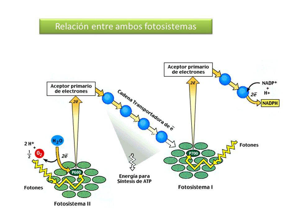 Relación entre ambos fotosistemas