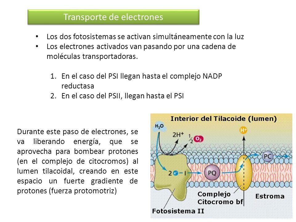 Transporte de electrones Los dos fotosistemas se activan simultáneamente con la luz Los electrones activados van pasando por una cadena de moléculas t