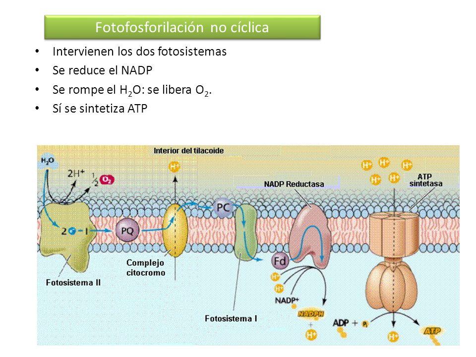 Intervienen los dos fotosistemas Se reduce el NADP Se rompe el H 2 O: se libera O 2. Sí se sintetiza ATP Fotofosforilación no cíclica