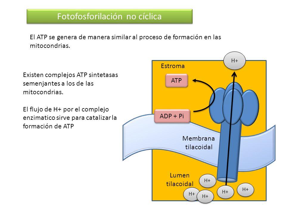 Membrana tilacoidal Fotofosforilación no cíclica El ATP se genera de manera similar al proceso de formación en las mitocondrias. Estroma Lumen tilacoi