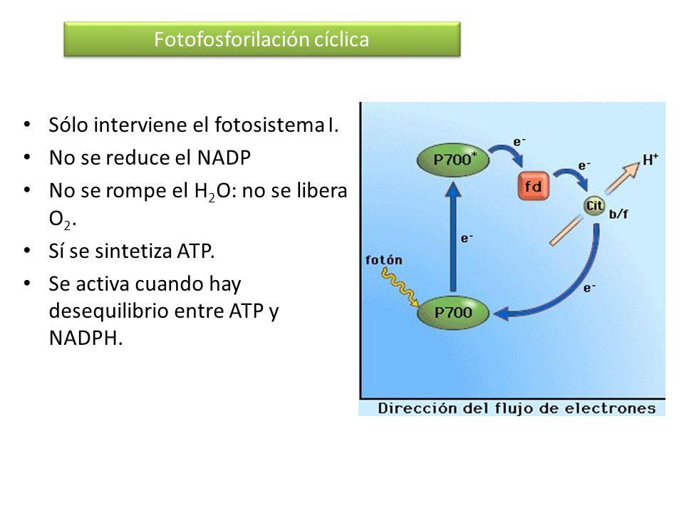 Sólo interviene el fotosistema I. No se reduce el NADP No se rompe el H 2 O: no se libera O 2. Sí se sintetiza ATP. Se activa cuando hay desequilibrio