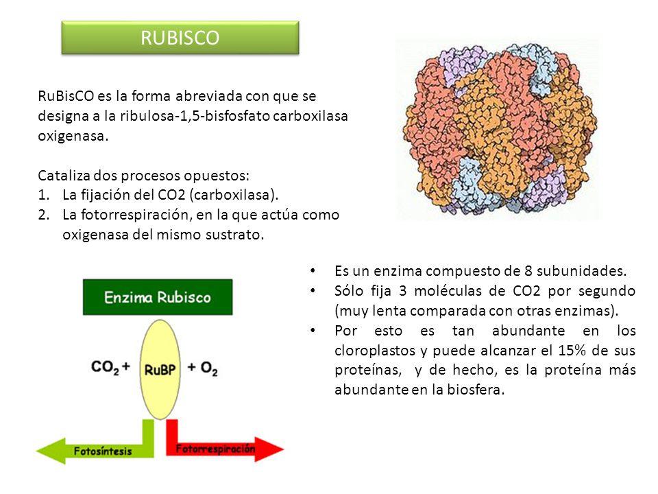 RUBISCO RuBisCO es la forma abreviada con que se designa a la ribulosa-1,5-bisfosfato carboxilasa oxigenasa. Cataliza dos procesos opuestos: 1.La fija