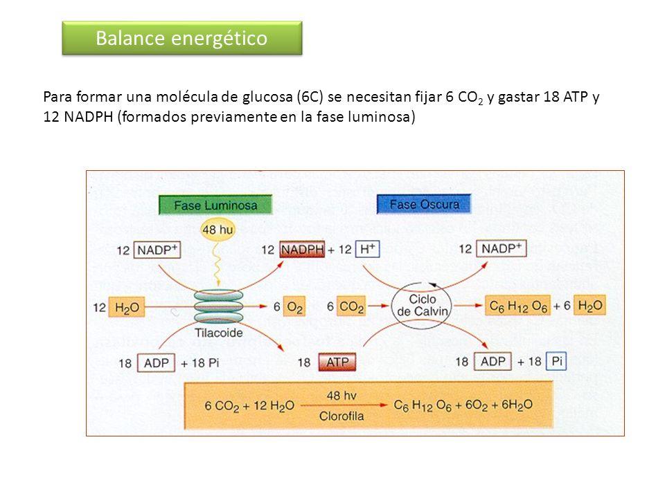 Balance energético Para formar una molécula de glucosa (6C) se necesitan fijar 6 CO 2 y gastar 18 ATP y 12 NADPH (formados previamente en la fase lumi