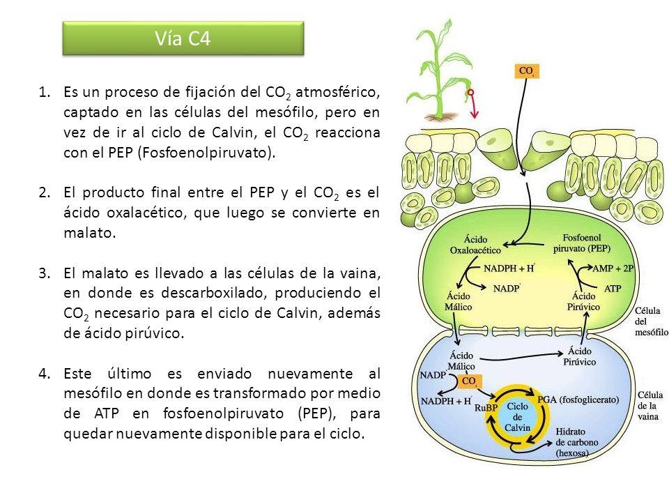 Vía C4 1.Es un proceso de fijación del CO 2 atmosférico, captado en las células del mesófilo, pero en vez de ir al ciclo de Calvin, el CO 2 reacciona