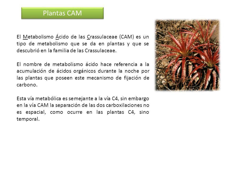 El Metabolismo Ácido de las Crassulaceae (CAM) es un tipo de metabolismo que se da en plantas y que se descubrió en la familia de las Crassulaceae. El