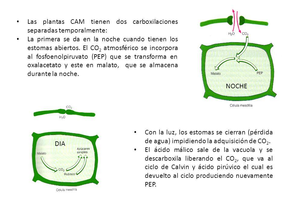 Las plantas CAM tienen dos carboxilaciones separadas temporalmente: La primera se da en la noche cuando tienen los estomas abiertos. El CO 2 atmosféri