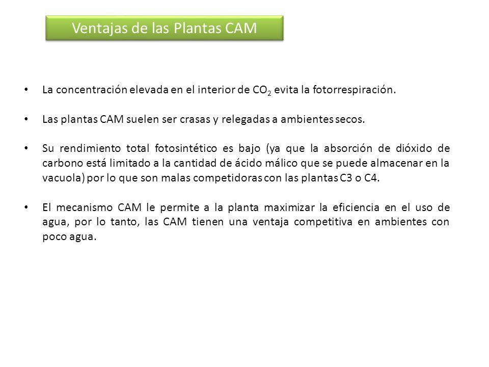 La concentración elevada en el interior de CO 2 evita la fotorrespiración. Las plantas CAM suelen ser crasas y relegadas a ambientes secos. Su rendimi