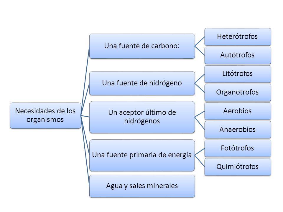 Necesidades de los organismos Una fuente de carbono: HeterótrofosAutótrofos Una fuente de hidrógeno LitótrofosOrganotrofos Un aceptor último de hidróg