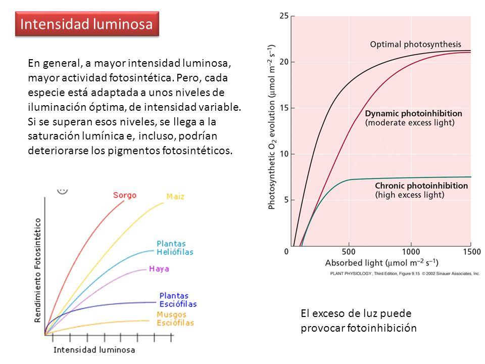 Intensidad luminosa En general, a mayor intensidad luminosa, mayor actividad fotosintética. Pero, cada especie está adaptada a unos niveles de ilumina