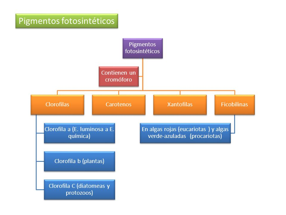 Las plantas CAM tienen dos carboxilaciones separadas temporalmente: La primera se da en la noche cuando tienen los estomas abiertos.