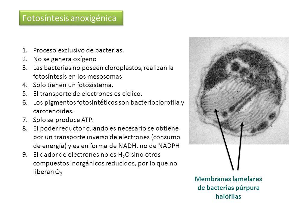1.Proceso exclusivo de bacterias. 2.No se genera oxígeno 3.Las bacterias no poseen cloroplastos, realizan la fotosíntesis en los mesosomas 4.Solo tien
