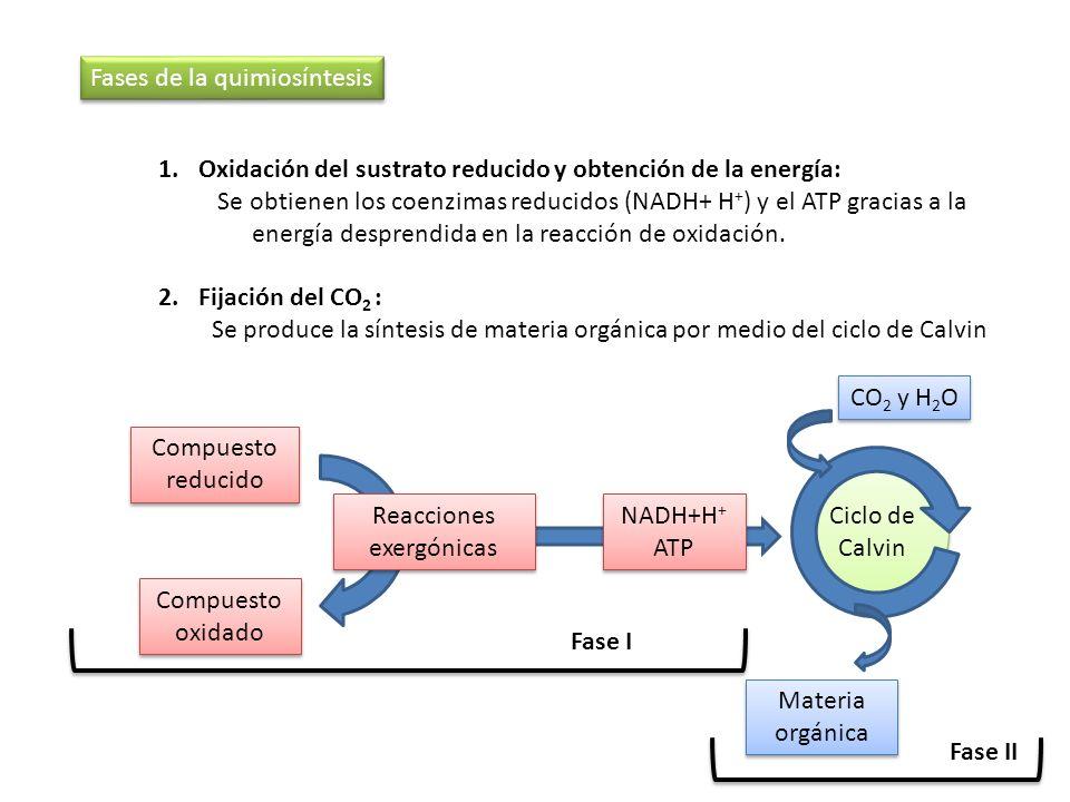 1.Oxidación del sustrato reducido y obtención de la energía: Se obtienen los coenzimas reducidos (NADH+ H + ) y el ATP gracias a la energía desprendid