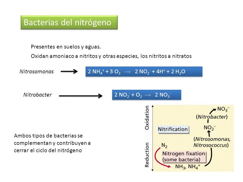 Bacterias del nitrógeno Presentes en suelos y aguas. 2 NH 4 + + 3 O 2 2 NO 2 - + 4H + + 2 H 2 O 2 NO 2 - + O 2 2 NO 3 - Oxidan amoniaco a nitritos y o