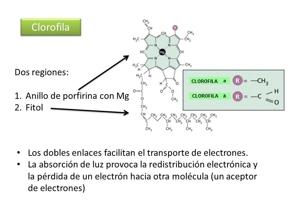 Clorofila Dos regiones: 1.Anillo de porfirina con Mg 2.Fitol Los dobles enlaces facilitan el transporte de electrones. La absorción de luz provoca la