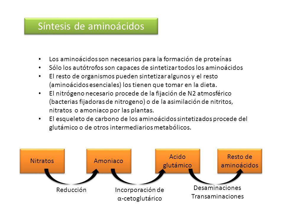 Síntesis de aminoácidos Los aminoácidos son necesarios para la formación de proteínas Sólo los autótrofos son capaces de sintetizar todos los aminoáci