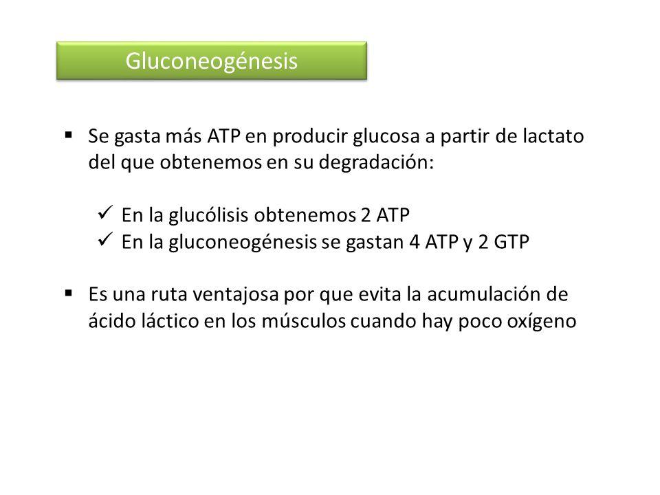 Gluconeogénesis Se gasta más ATP en producir glucosa a partir de lactato del que obtenemos en su degradación: En la glucólisis obtenemos 2 ATP En la g