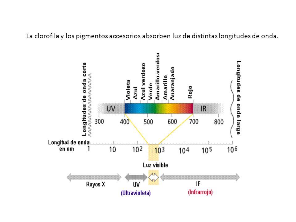 La clorofila y los pigmentos accesorios absorben luz de distintas longitudes de onda.