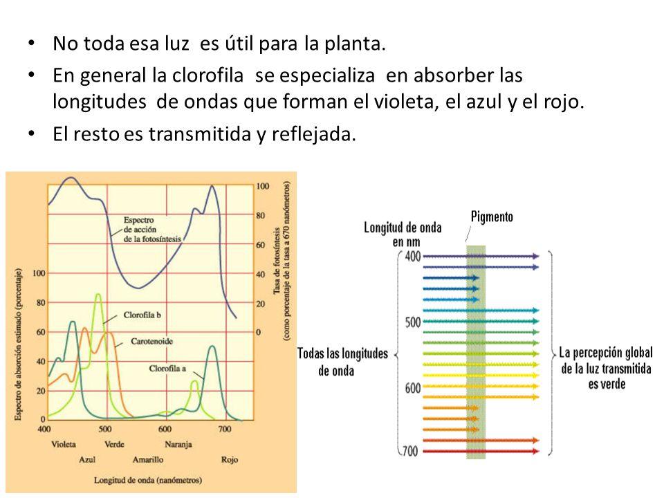 Tipo de luz La clorofila a y la clorofila b absorben energía lumínica en la región azul y roja del espectro Los carotenos y xantofilas, en la azul Las ficocianinas, en la naranja Las ficoeritrinas, en la verde.