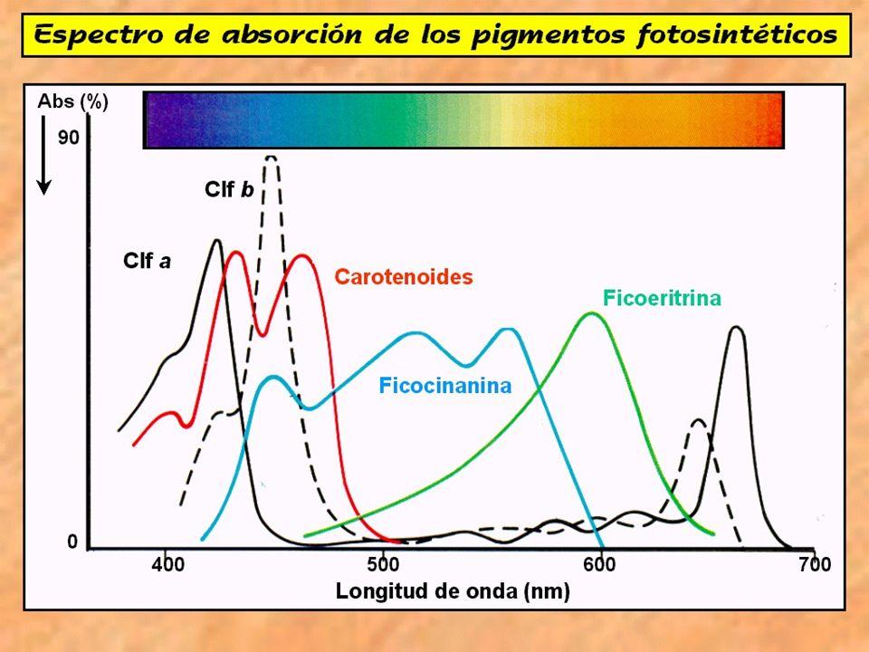 Cuando una molécula de clorofila absorbe un fotón, pasa a un estado inestable de mayor energía, denominado estado excitado, en el que un electrón periférico se desplaza hacia una posición más externa.