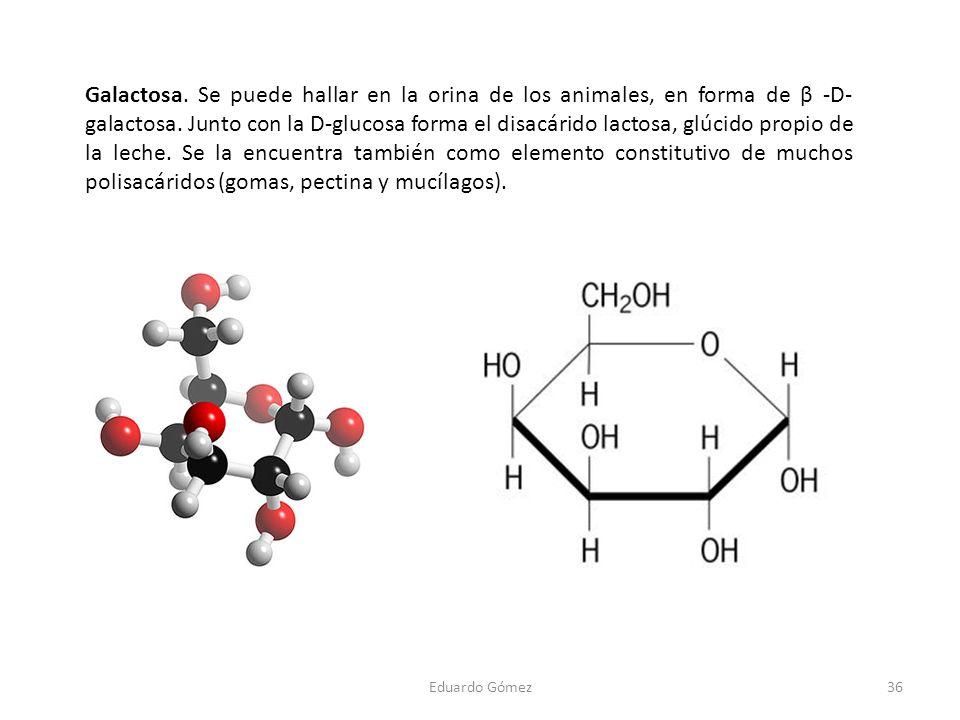 Galactosa. Se puede hallar en la orina de los animales, en forma de β -D- galactosa. Junto con la D-glucosa forma el disacárido lactosa, glúcido propi