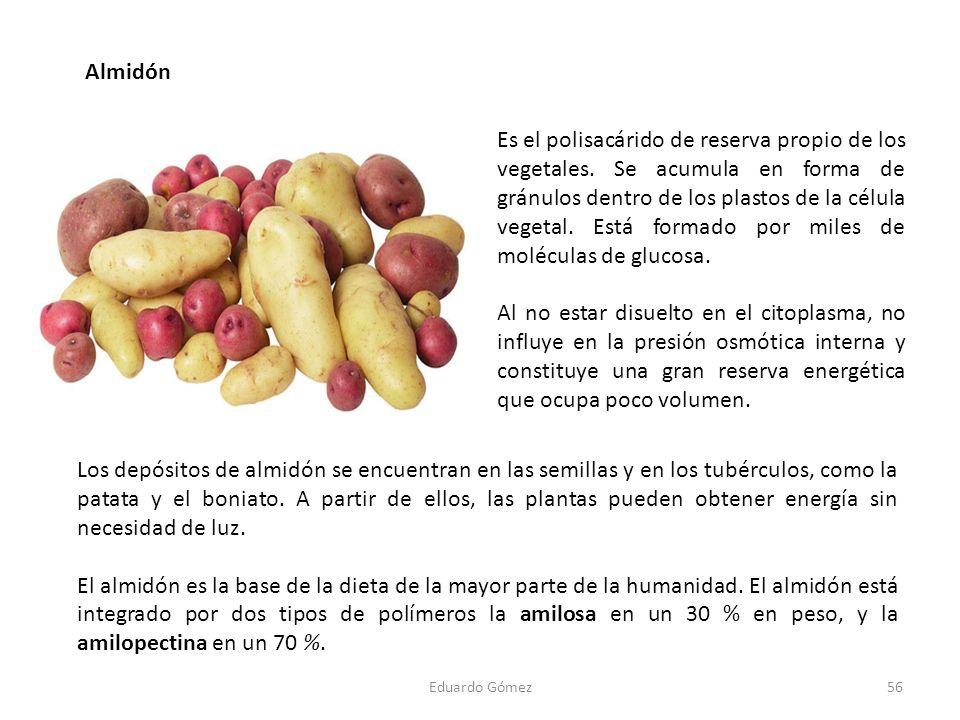 Almidón 56Eduardo Gómez Los depósitos de almidón se encuentran en las semillas y en los tubérculos, como la patata y el boniato. A partir de ellos, la