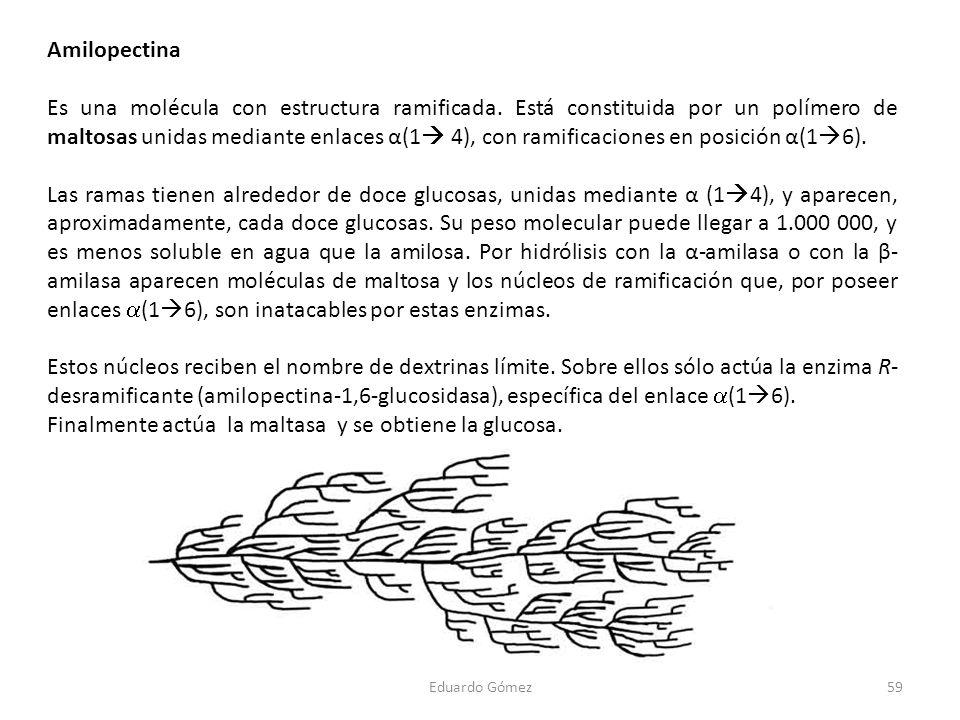 Amilopectina Es una molécula con estructura ramificada. Está constituida por un polímero de maltosas unidas mediante enlaces α(1 4), con ramificacione