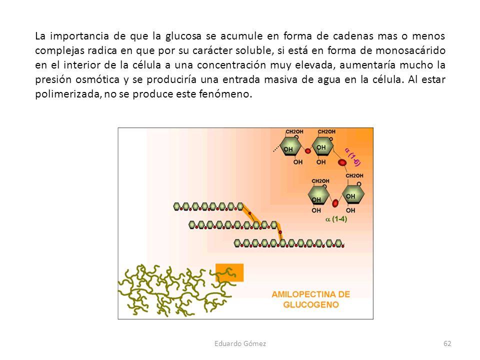 La importancia de que la glucosa se acumule en forma de cadenas mas o menos complejas radica en que por su carácter soluble, si está en forma de monos