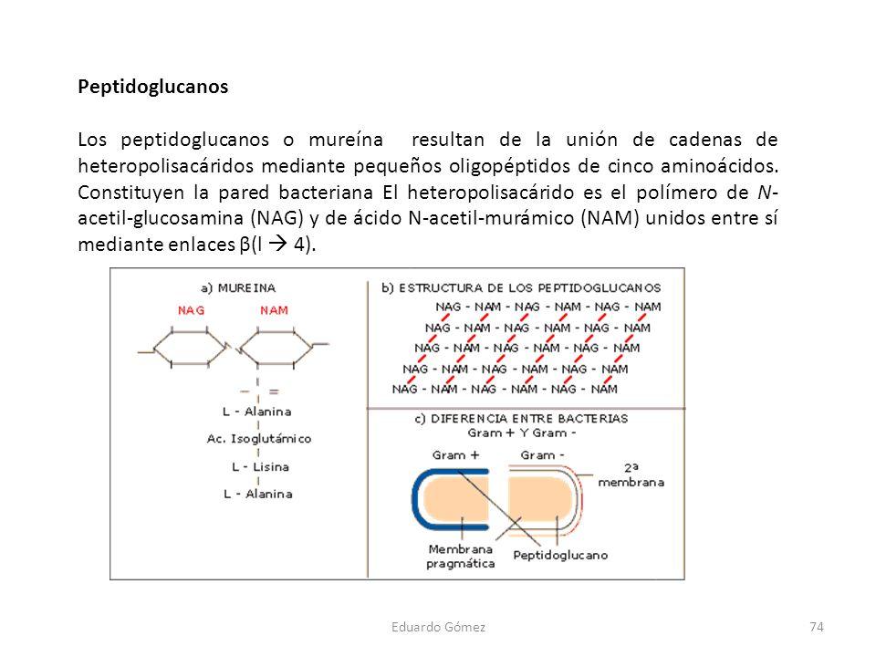 Peptidoglucanos Los peptidoglucanos o mureína resultan de la unión de cadenas de heteropolisacáridos mediante pequeños oligopéptidos de cinco aminoáci