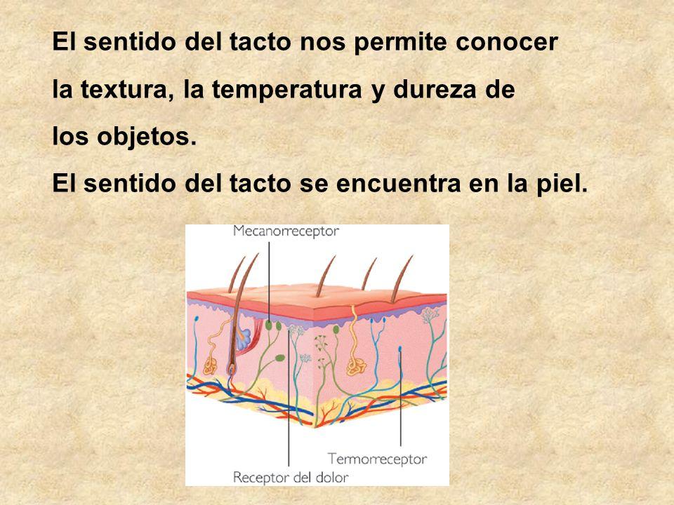 El sentido del tacto nos permite conocer la textura, la temperatura y dureza de los objetos. El sentido del tacto se encuentra en la piel.