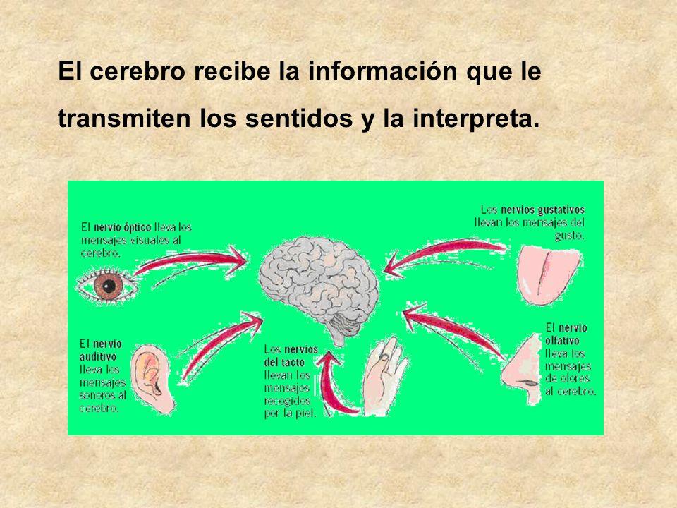 El cerebro recibe la información que le transmiten los sentidos y la interpreta.