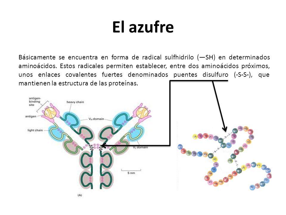 El azufre Básicamente se encuentra en forma de radical sulfhidrilo (SH) en determinados aminoácidos. Estos radicales permiten establecer, entre dos am
