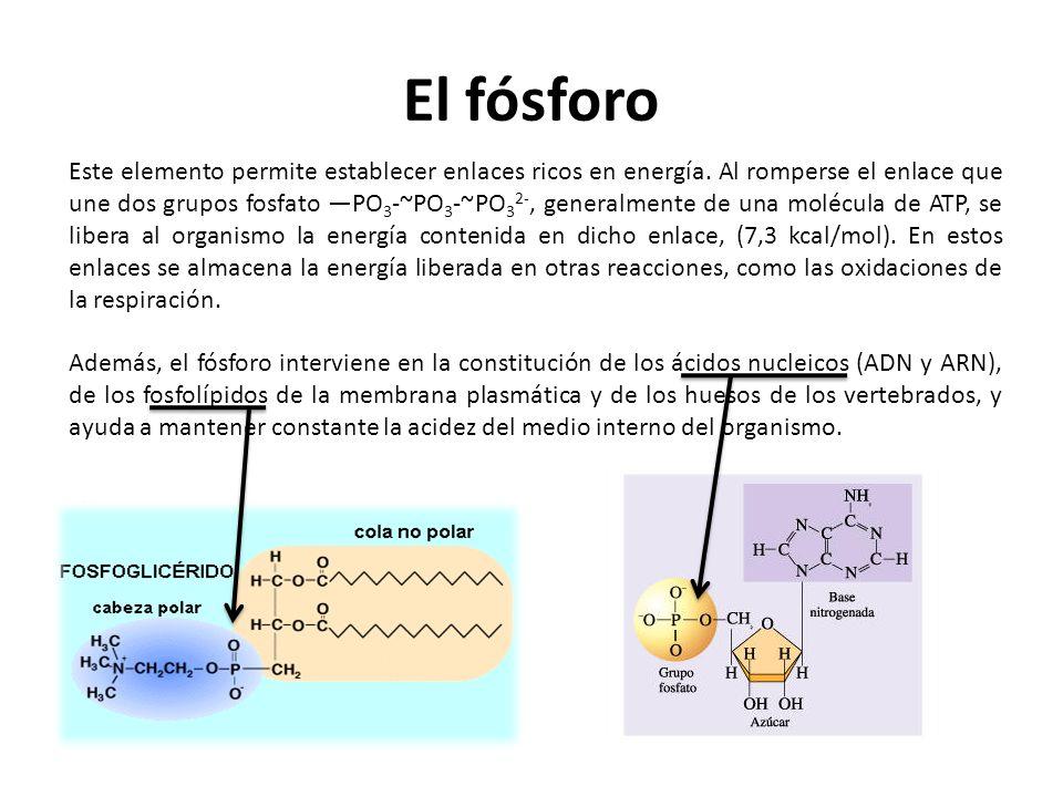 El fósforo Este elemento permite establecer enlaces ricos en energía. Al romperse el enlace que une dos grupos fosfato PO 3 -~PO 3 -~PO 3 2-, generalm