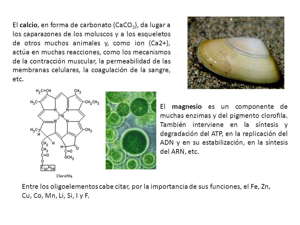 El magnesio es un componente de muchas enzimas y del pigmento clorofila. También interviene en la síntesis y degradación del ATP, en la replicación de