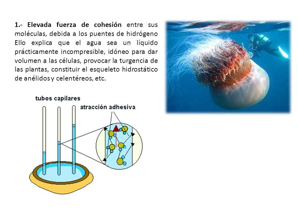 1.- Elevada fuerza de cohesión entre sus moléculas, debida a los puentes de hidrógeno Ello explica que el agua sea un líquido prácticamente incompresi