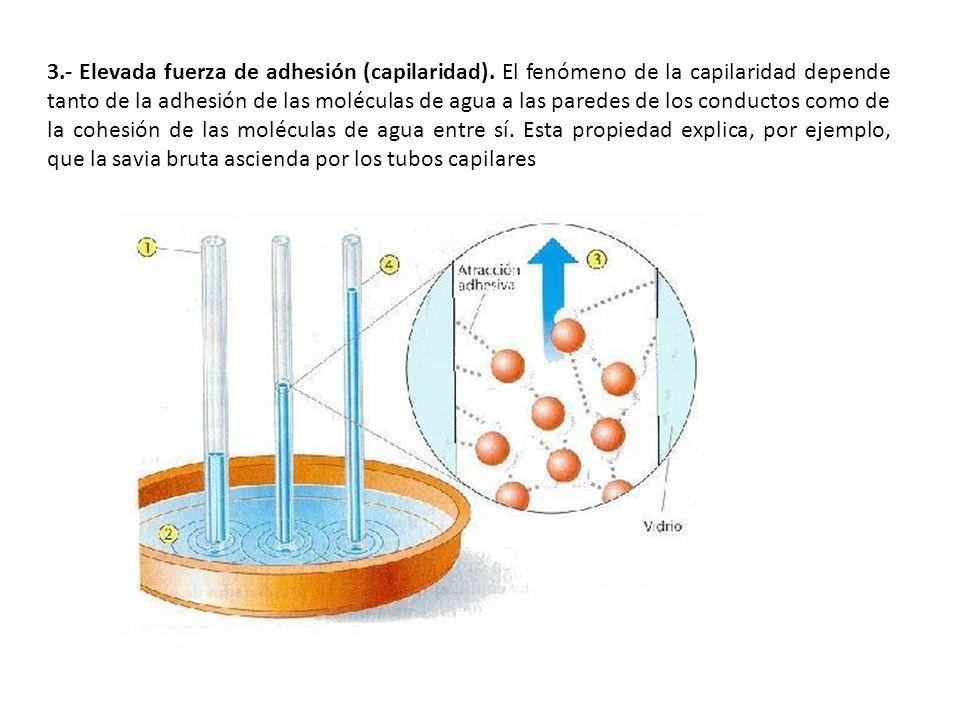 3.- Elevada fuerza de adhesión (capilaridad). El fenómeno de la capilaridad depende tanto de la adhesión de las moléculas de agua a las paredes de los