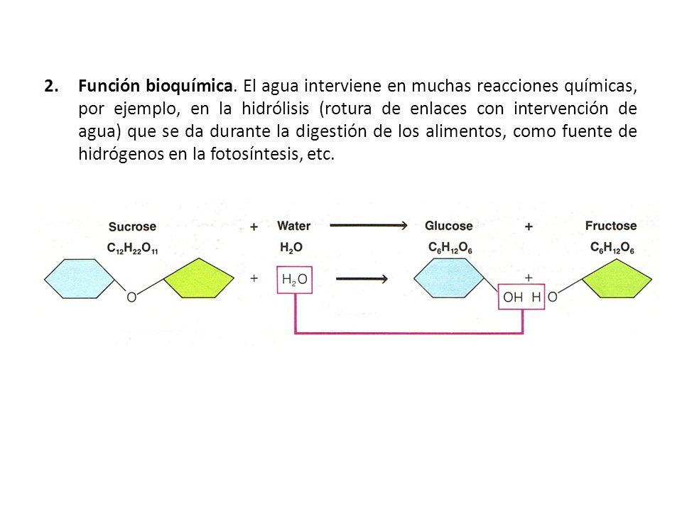 2.Función bioquímica. El agua interviene en muchas reacciones químicas, por ejemplo, en la hidrólisis (rotura de enlaces con intervención de agua) que